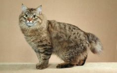 american bobtail brown hair green eyes standing