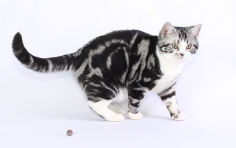 american shorthair white hair black hair green eyes
