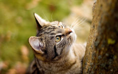american wirehair whiskers brown hair