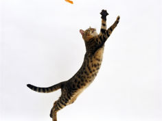 bengal female leaping for toy