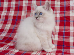 birman cat hd