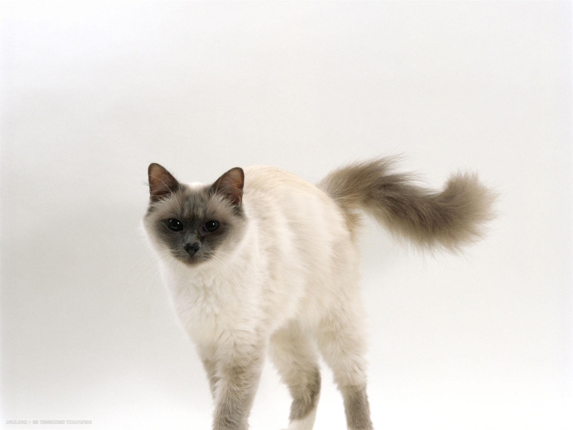 blue birman female