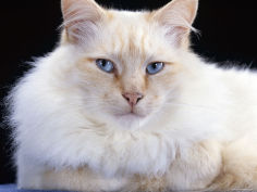 red flame male birman