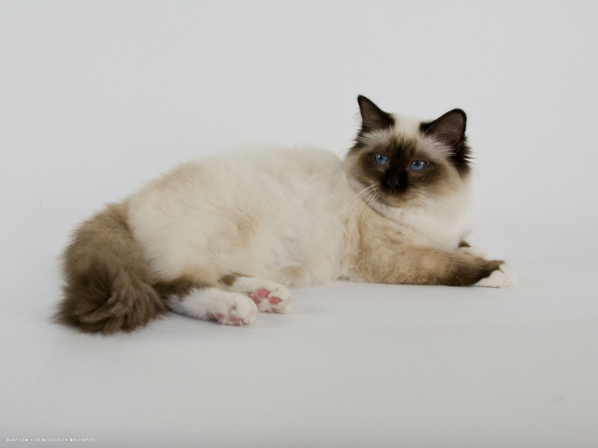 wide wallpaper birman