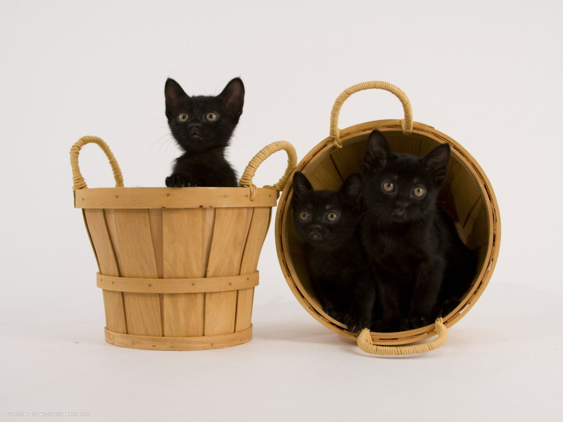 bombay cat hd