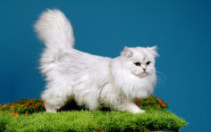 british longhair white hair whiskers standing dark pink nose