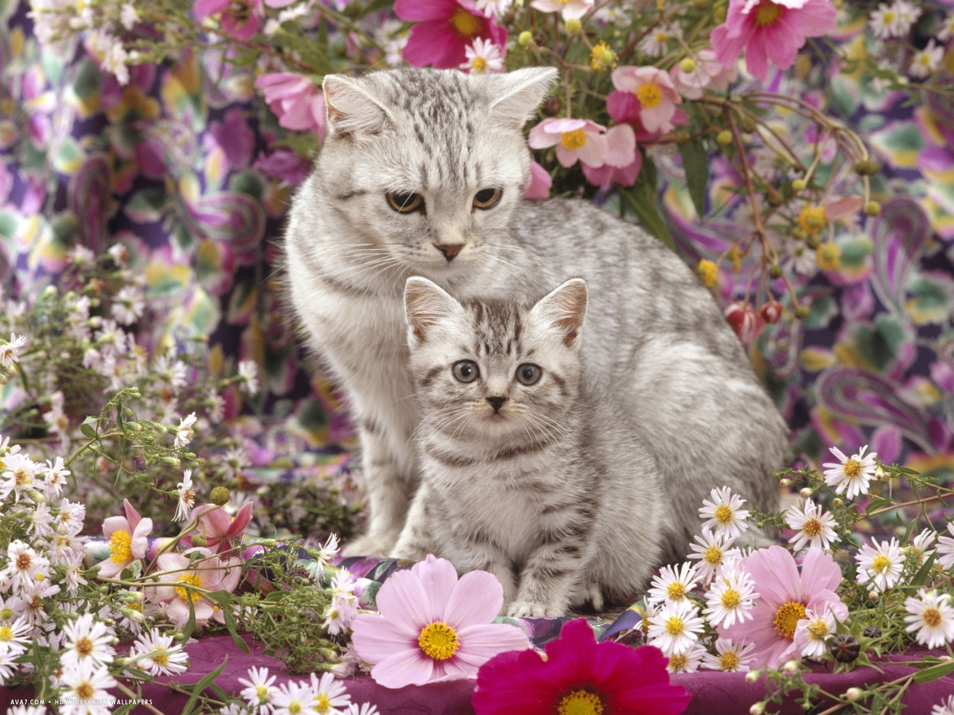 british shorthaired silver spotted tabby with her 8 week kitten among flowers