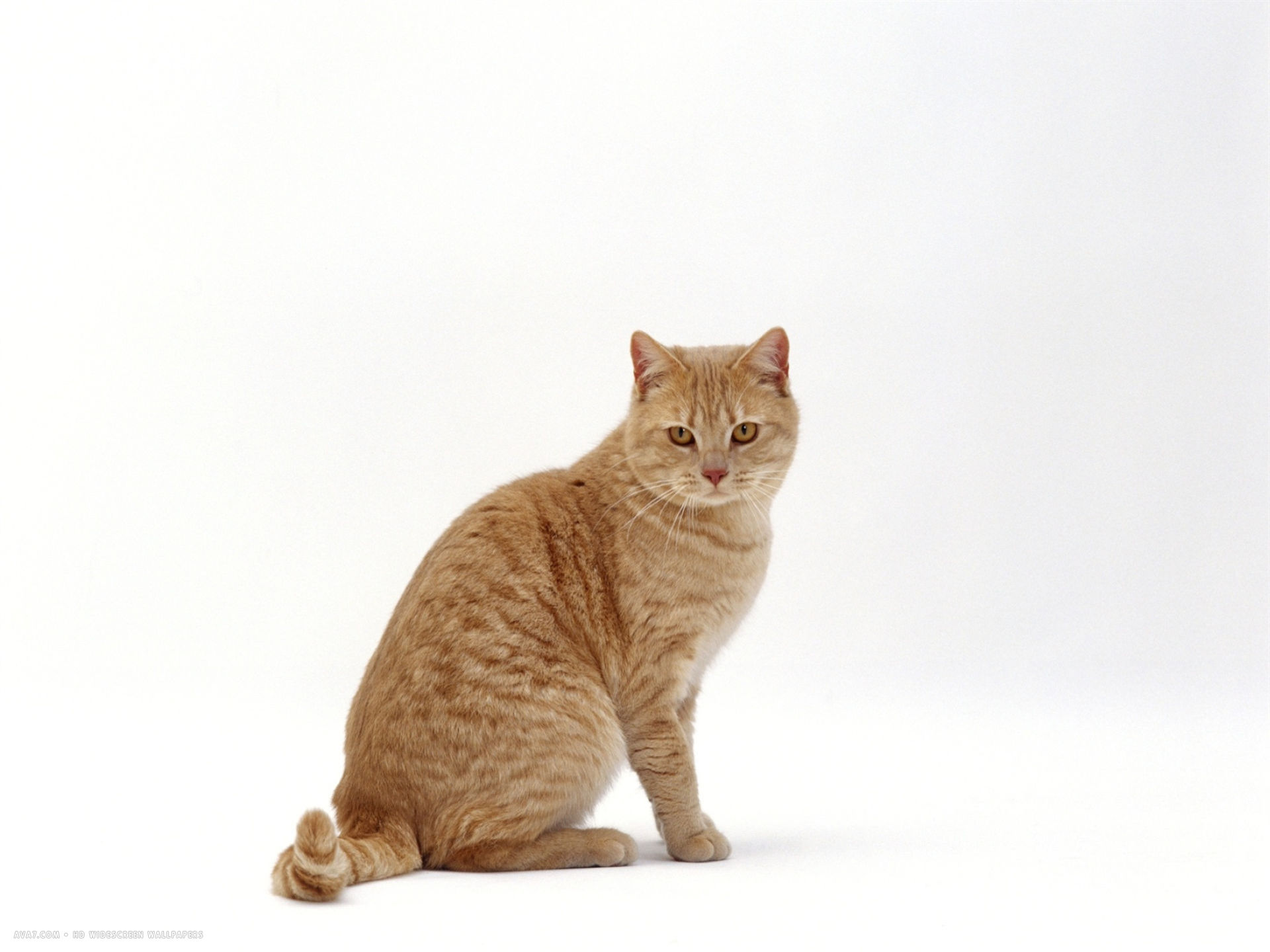 cream british shorthair male sitting
