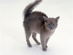 blue burmese kitten frightened with fur raised along back and tail fluffed up