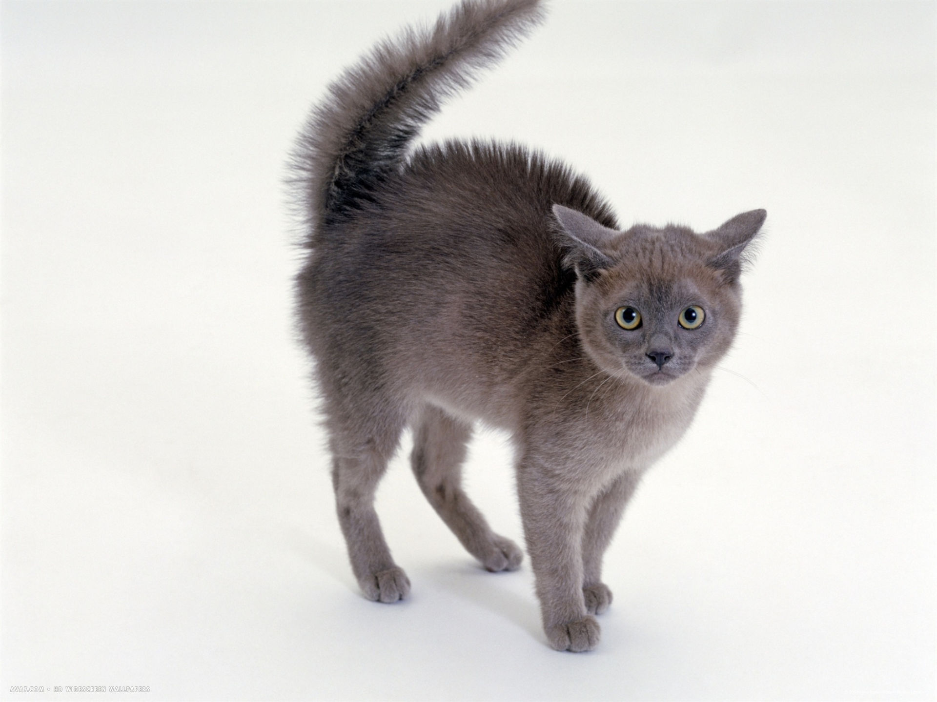 Cat With A Long Tail Meaning