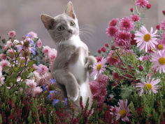 burmese cross kitten standing on rear legs among pink chrysanthemums and heather