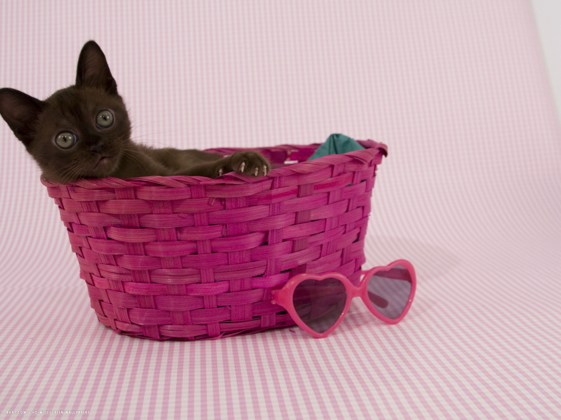 sable burmese cat hd
