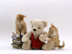 two red burmese cross kittens with teddy bear