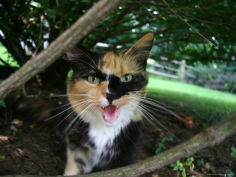 calico cat hisses a warning