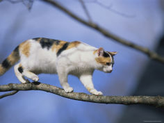 calico cat tightropes across a tree limb