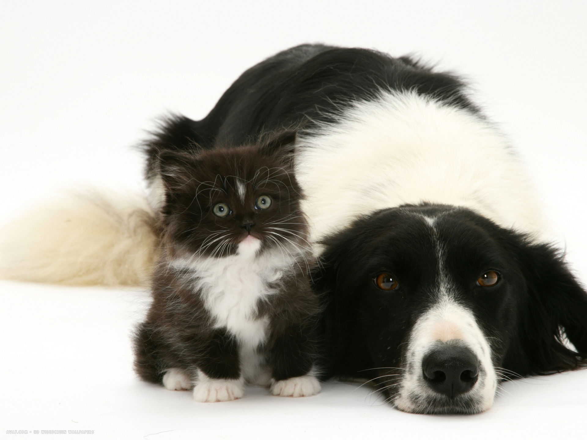 black and white border collie lying chin on floor with black and white kitten