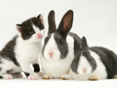 black and white kitten smelling grey and white rabbits
