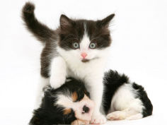 black and white kitten walking over sleeping cavalier king charles spaniel puppy