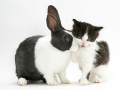 black and white kitten with blue dutch rabbit