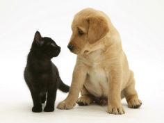 black domestic kitten and labrador puppy looking at each other