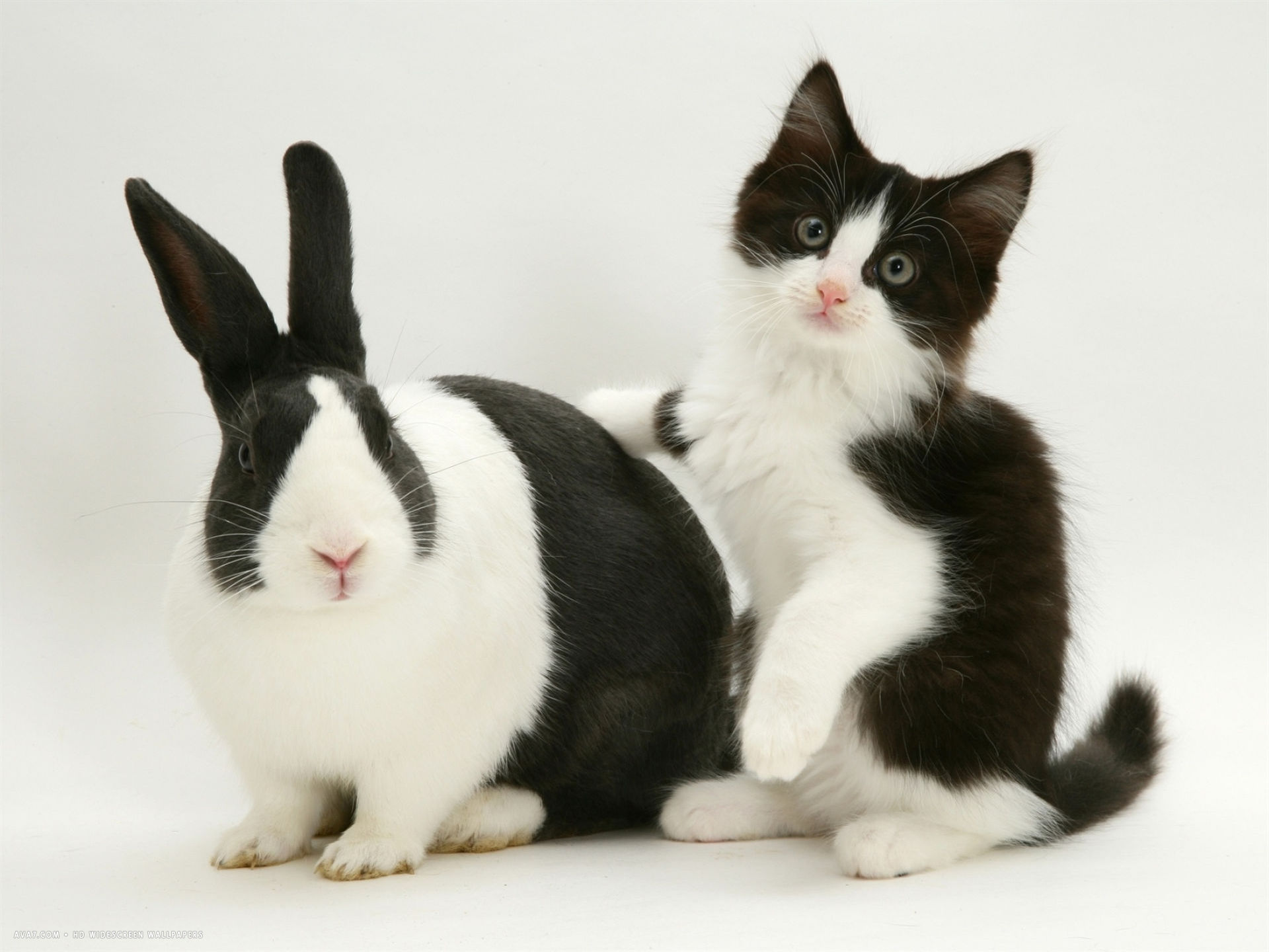 black dutch rabbit with black and white kitten desktop wallpaper