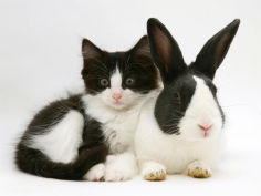black dutch rabbit with black and white kitten