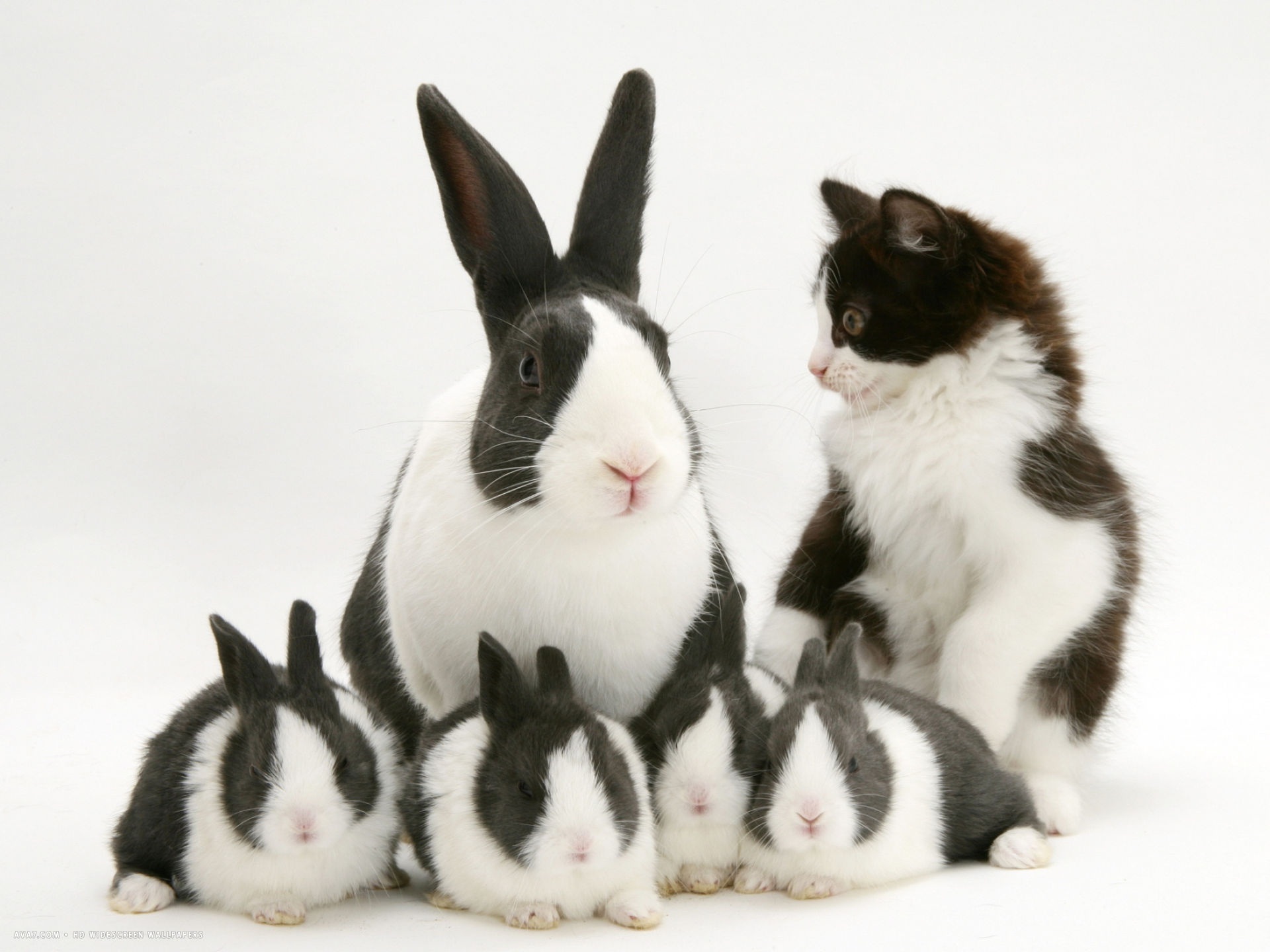 blue dutch rabbit and four 3 week babies and black and white kitten