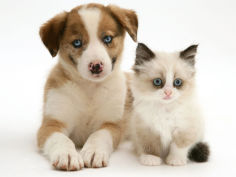 blue eyed red merle border collie puppy with birman cross kitten blue eyes