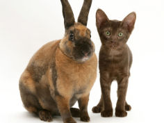 brown burmese cross kitten with rex rabbit