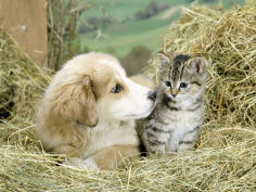 domestic kitten felis catus with puppy canis familiaris in hay