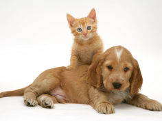 ginger kitten climbing on top of golden cocker spaniel puppy