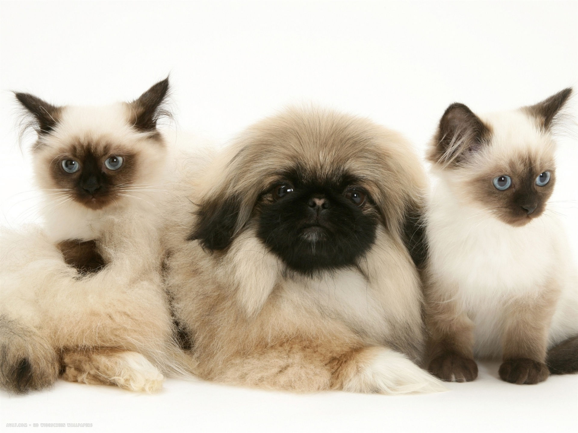 kittens with pekingese puppy