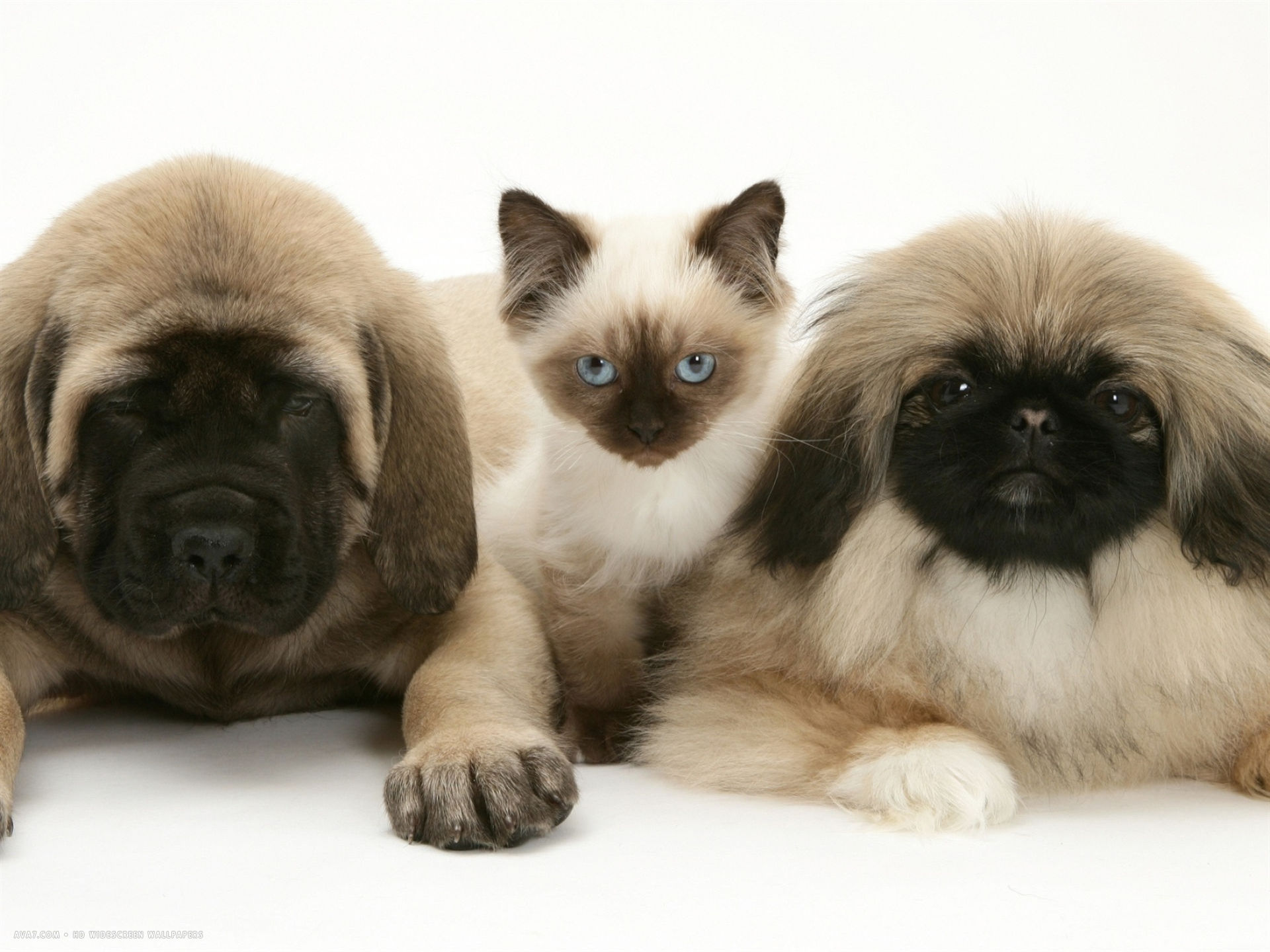pekingese and english mastiff puppies with birman cross kitten