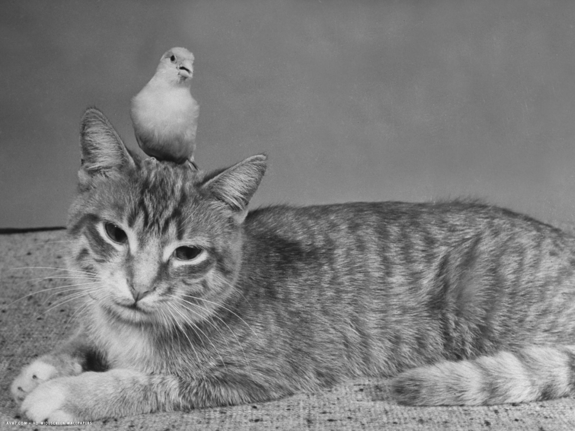 pet canary perched on the head of a household cat