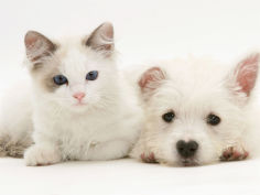ragdoll kitten with west highland white terrier puppy