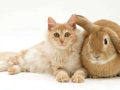 red silver turkish angora cat with sandy lop rabbit desktop wallpaper