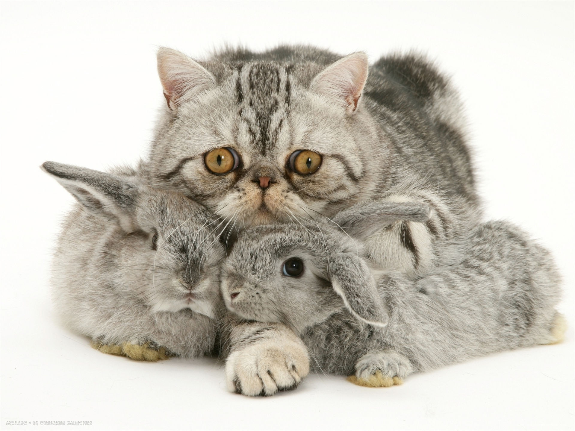 silver exotic cat cuddling up with two baby silver rabbits