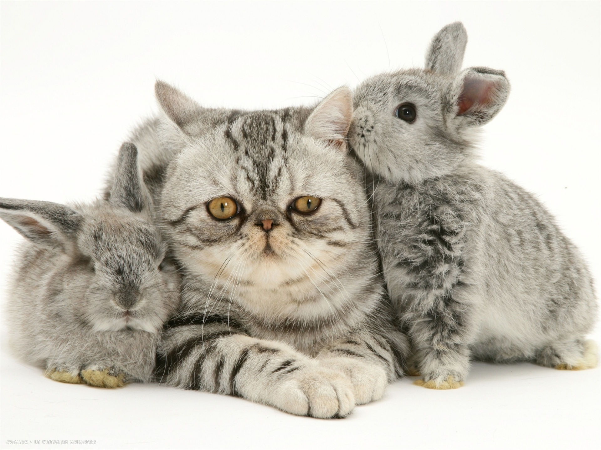 silver exotic cat with two silver baby rabbits