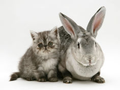 silver exotic kitten 9 week with silver rex doe rabbit
