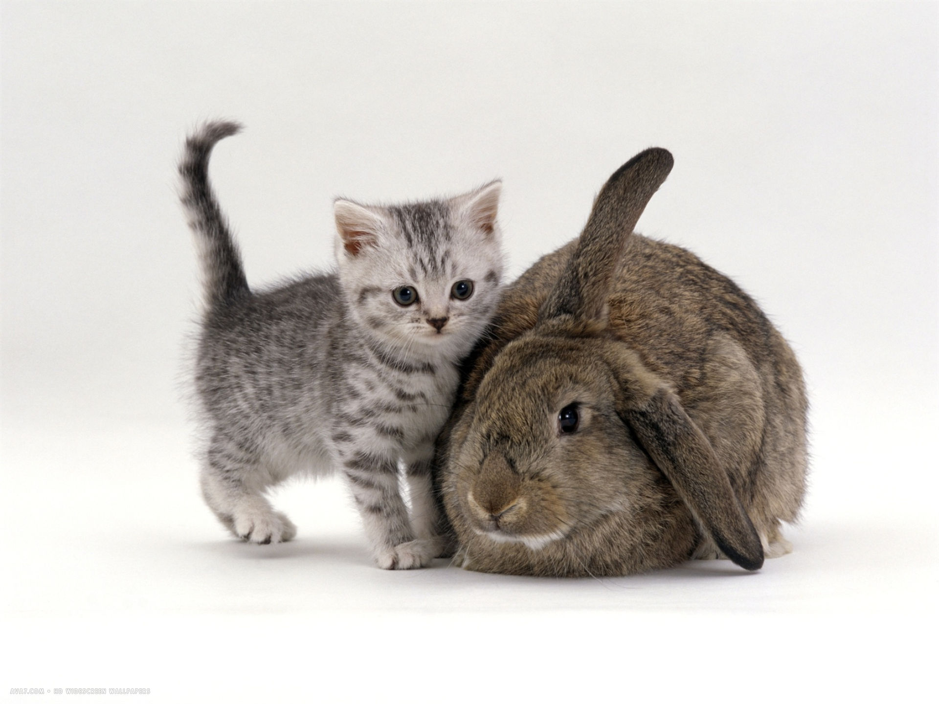 Silver Spotted Kitten With Agouti Lop Rabbit Cats And