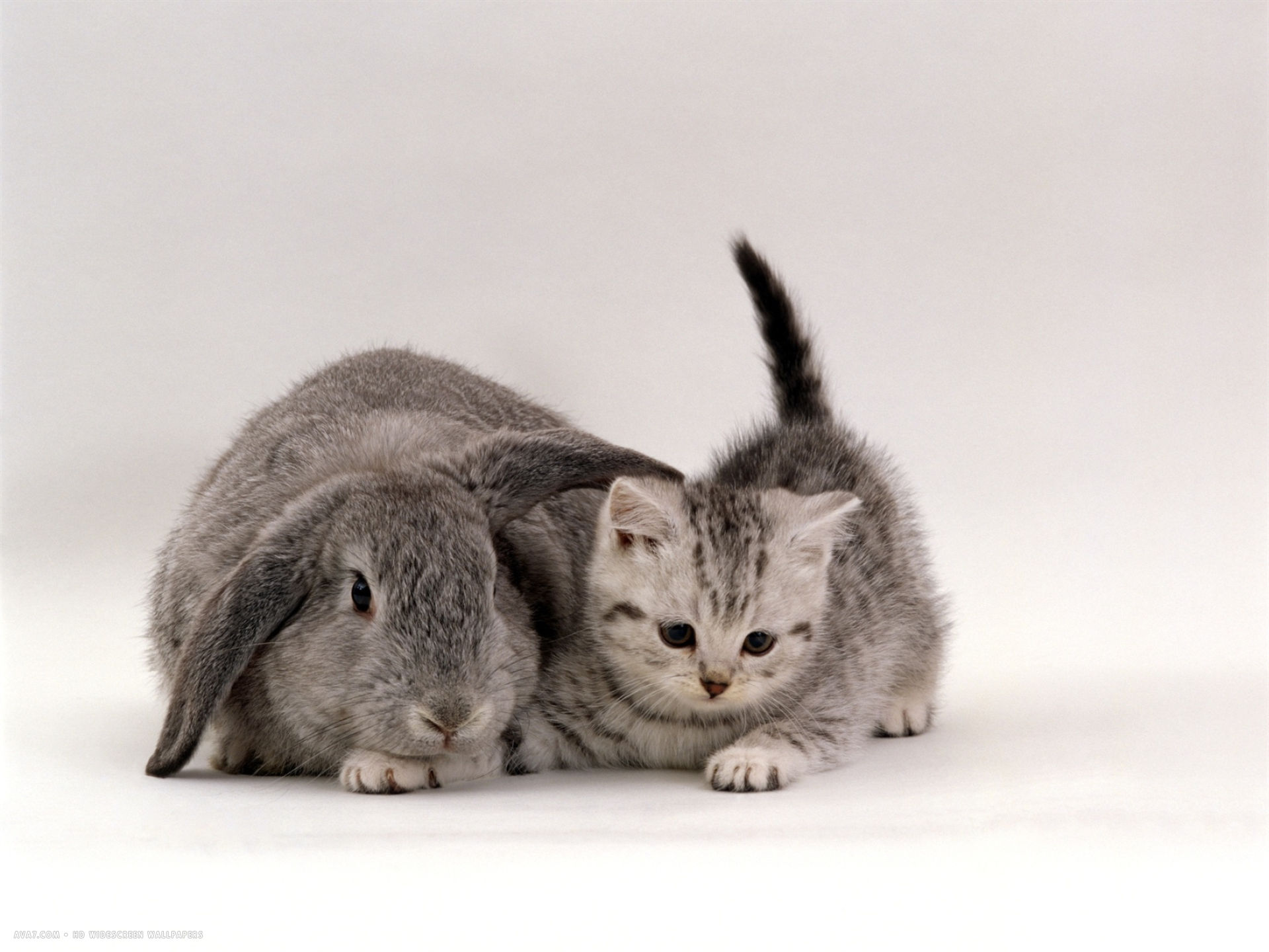 silver spotted kitten with silver lop eared rabbit colour coordinated