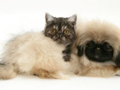 smoke exotic kitten with pekingese puppy