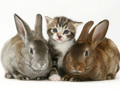 tabby kitten with two rabbits
