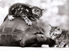 two young kittens playing with a slow moving giant tortoise