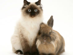 young birman cross cat with dwarf lionhead rabbit