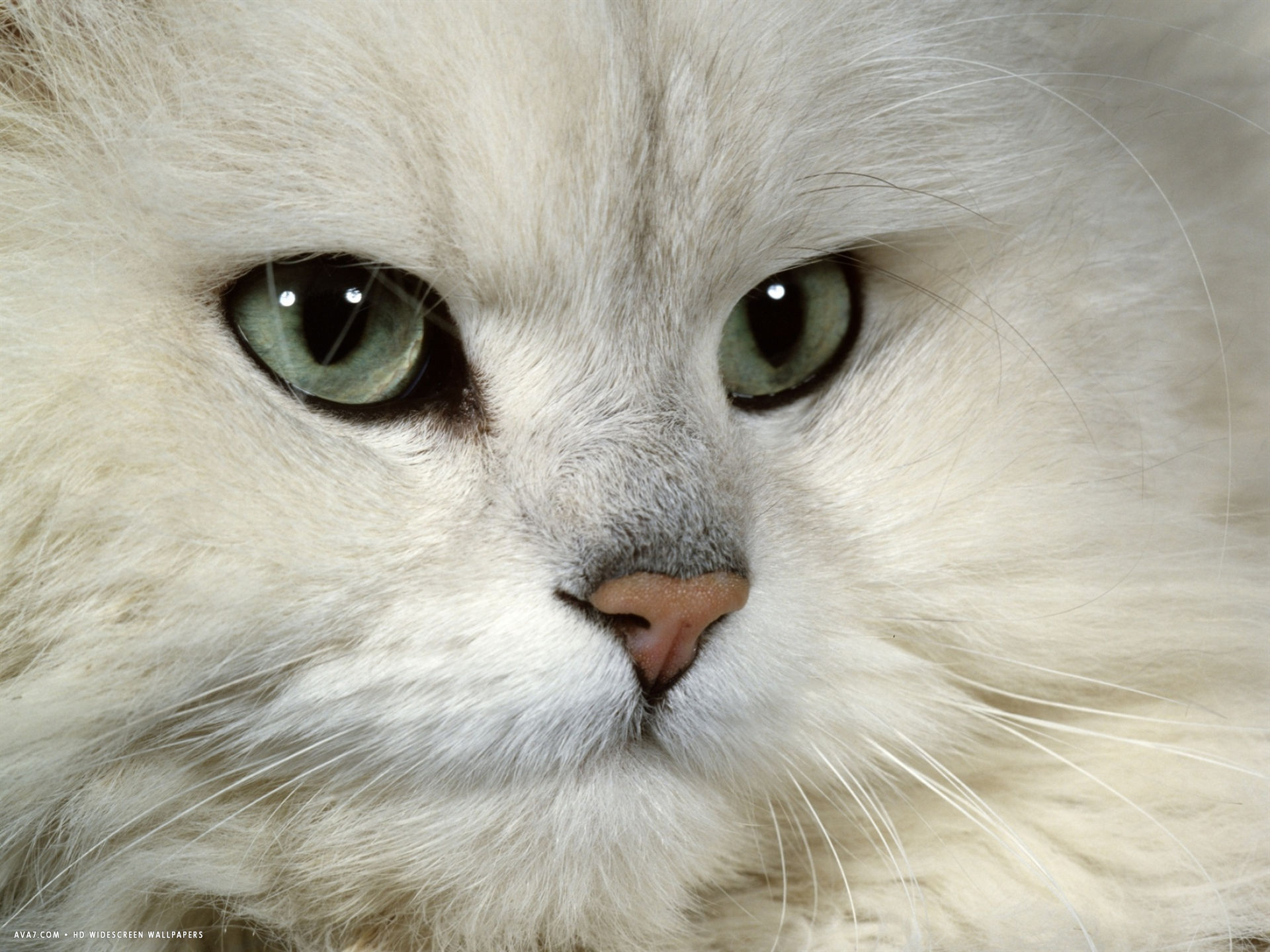 cat chinchilla persian portrait