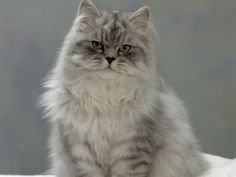 domestic cat chinchilla persian