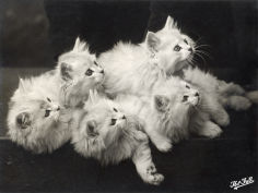 five adorable white fluffy chinchilla kittens lying in a heap