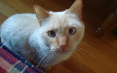 flame point siamese colorpoint shorthair