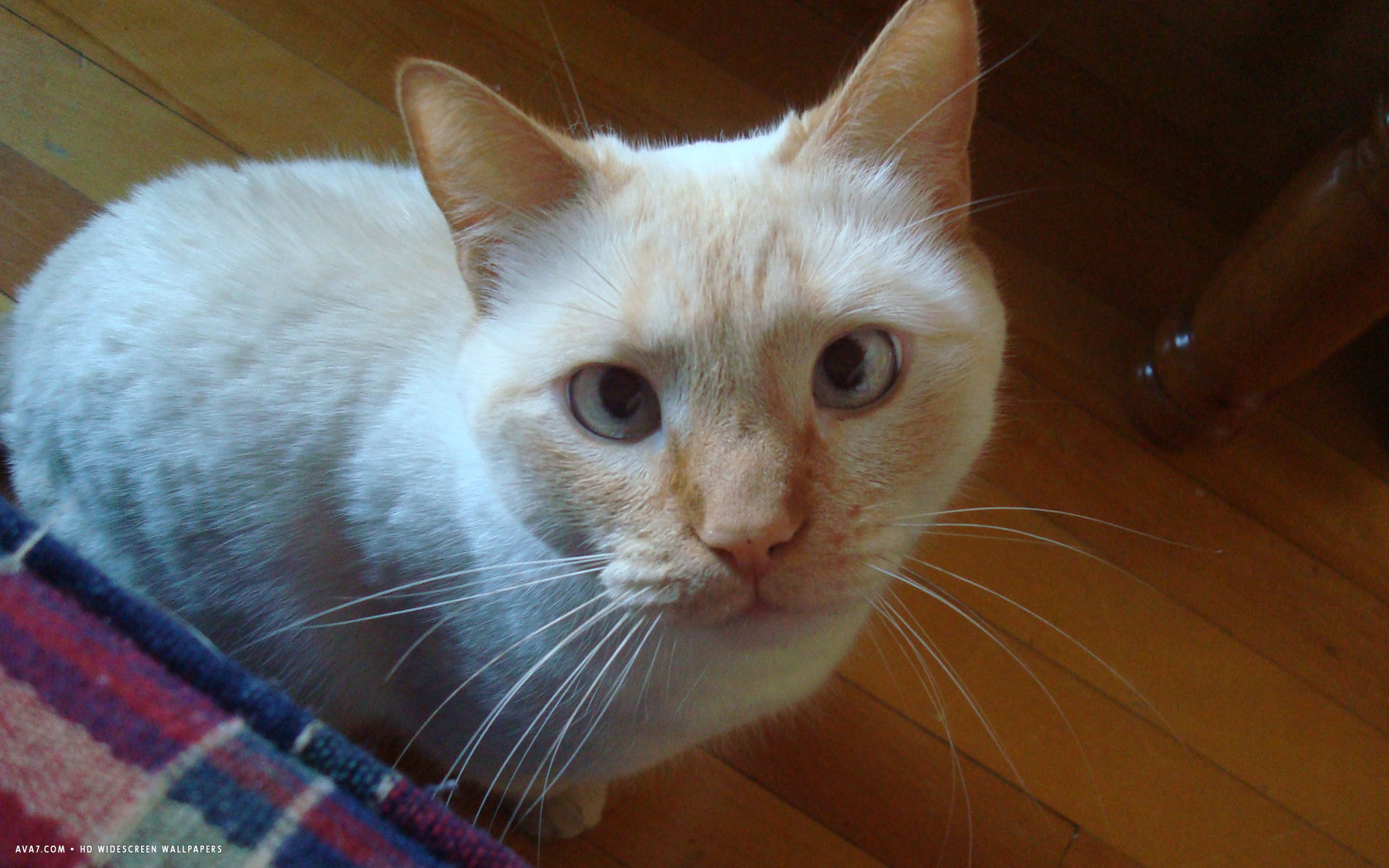 flame point siamese co...